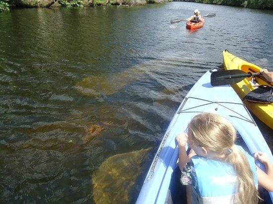 Cracker Creek : manatee