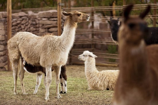 Alto Atacama Desert Lodge & Spa : Lamas