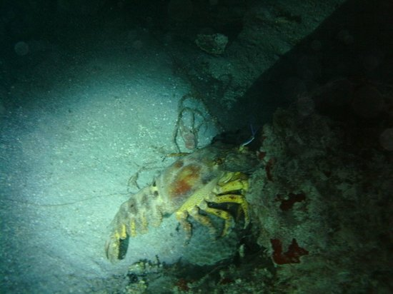 Frederiksted Pier: slipper lobster on night dive