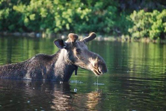 Moosehead Hills Cabins: Moose Watching Tours
