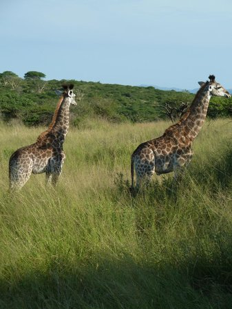 Zulu Nyala Game Lodge: Giraffes