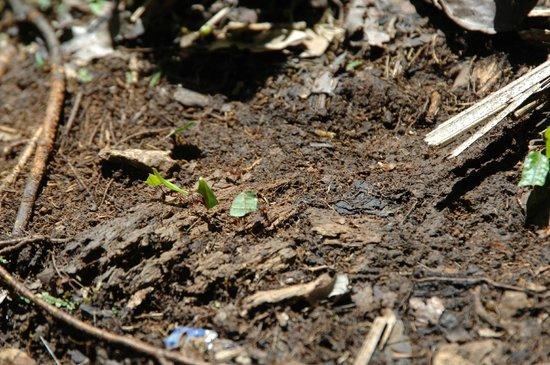 Rocas de Cabo Marzo: Leaf Cutter Ants during hike!