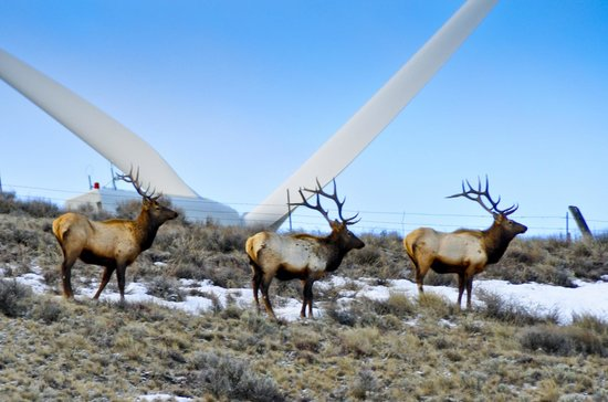 Wild Horse Renewable Energy Center: Elk on the ridge