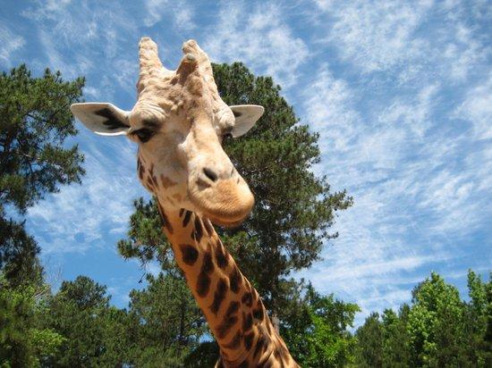 Wild Animal Safari: Welcome!  Aren't I gorgeous?!?!