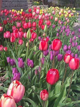Winfield Inn: Tulips at Winfield Inn