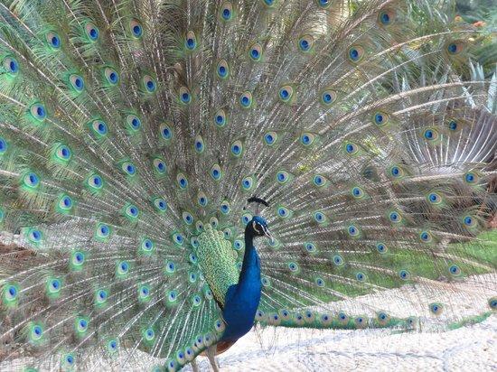 Velas Vallarta Suite Resort: Peacocks roaming the grounds