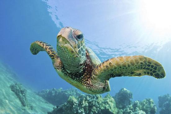 Kaanapali Ocean Adventures: Turtle