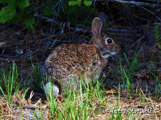 Lake Manatee State Park : Brown bunny!