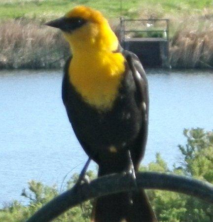 Malheur National Wildlife Refuge: Yellow headed black birds! you should hear them sing!