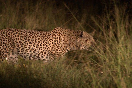 Sabi Sabi Bush Lodge: Leopard in the Headlights