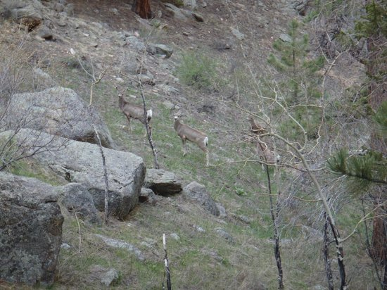 Della Terra Mountain Chateau: mule deer on the property