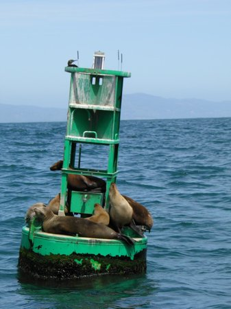 Santa Barbara Land Shark: Sea Lions on a buoy during the trip