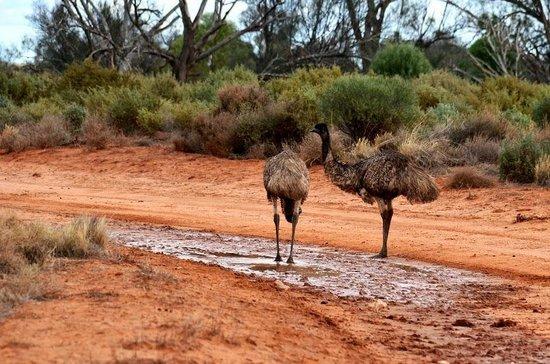 Mungo National Park: Emus