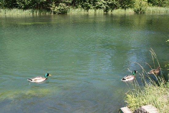Camping Airotel La Sorguette : ...I Germani Reali che popolano il fiume Sorgue accanto al campeggio...