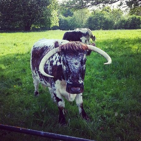 Eastwood Hall: Resident Cows