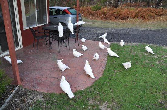 Halls Gap Valley Lodges: Cockatoos outside room
