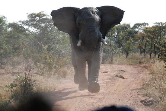 Welgevonden Game Reserve, Zuid-Afrika: Reversing at full speed leaves him behind