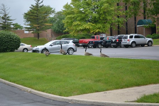 La Quinta Inn & Suites Fairborn Wright-Patterson: Some of the not so friendly geese.