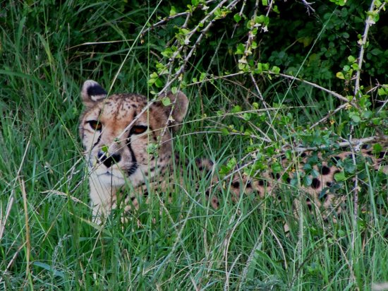 Sibuya Game Reserve: 4 -Star Luxury Tented Camps and Lodge: Cheetah