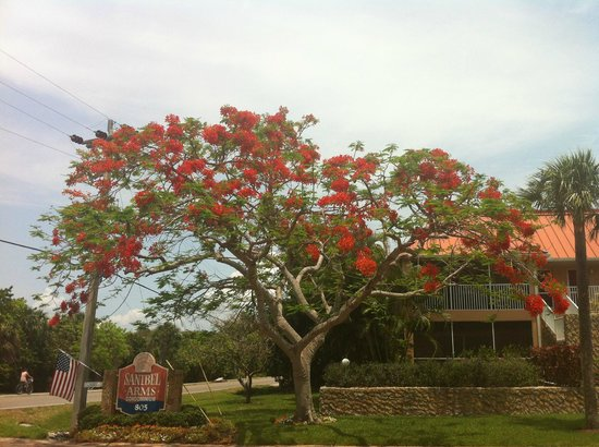 Sanibel Arms Condominiums: flowering tree at entrance to sanibel arms