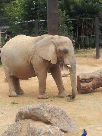 Elephant fotograf a de zoo de barcelona barcelona for Elephant barcellona