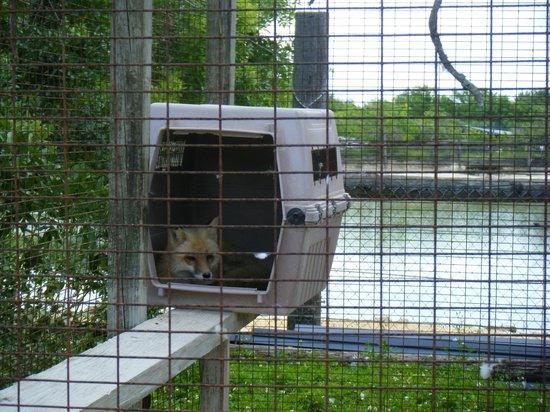 Octagon Wildlife Sanctuary And Rehabilitation Center: red fox