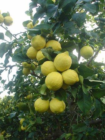 Agriturismo Il Limoneto: Zitronen