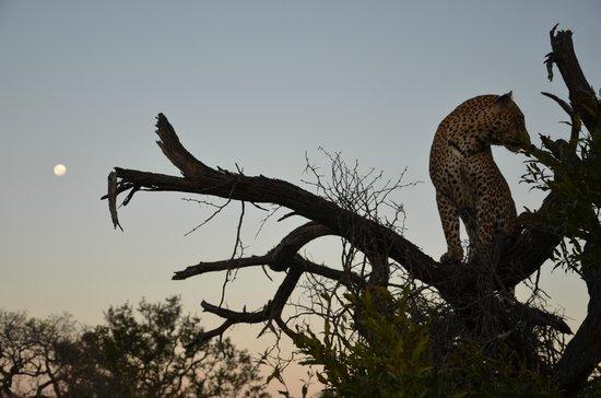 Dulini Leadwood Lodge: Safari