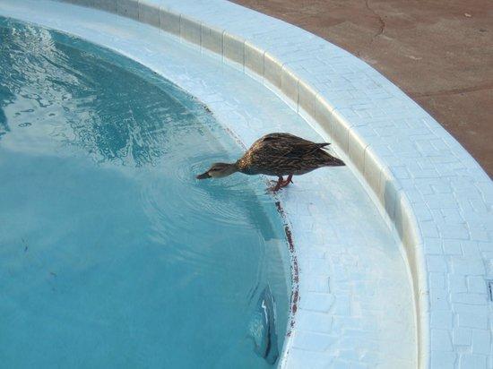 Knights Inn Maingate Kissimmee/Orlando: Un par de patos iban todas las tardea a refrescarse en el agua