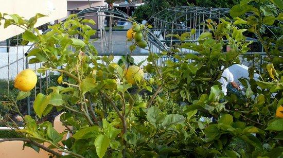 Coral Hotel: Lemon trees in hotel gardens.