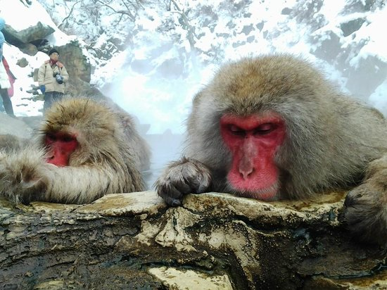 Jigokudani Snow Monkey Park: Tão perto