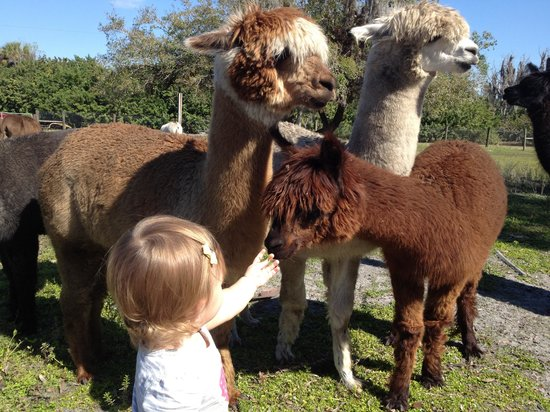 STARanch Alpaca Trek