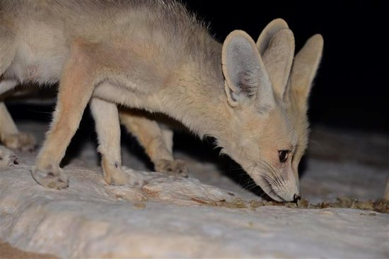 Western Desert : Little foxes hunting for food