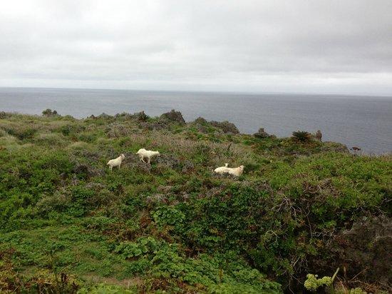 Cape Tamina: 野生化した山羊の親子