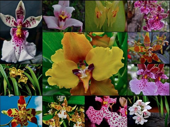 Hacienda Cusin: several of 30 orchids ......