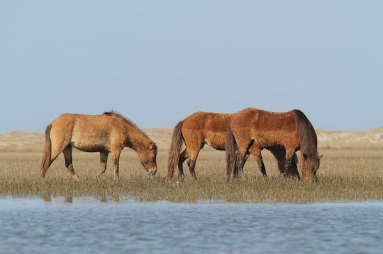 The Rachel Carson Reserve wild horses photographed from a kayak in the tidal marsh.