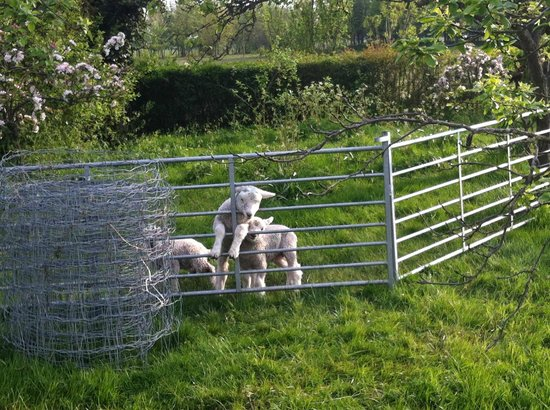 Stone Green Farm: lambs in garden!