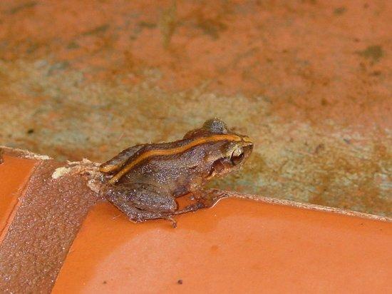 Serenity Lodges Dominica: Kleiner Frosch den man hin und wieder sieht