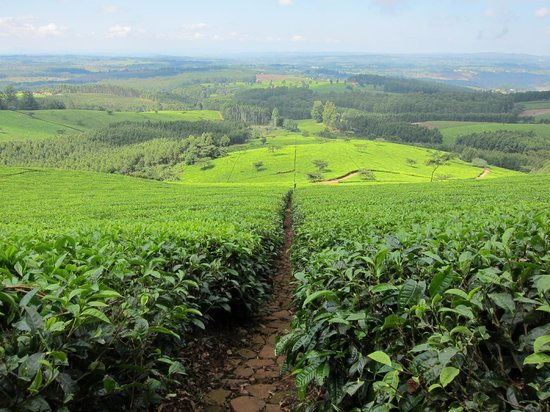 Huntingdon House: Satemwa tea estate