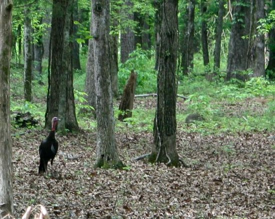 Chickamauga and Chattanooga National Military Park: Wild turkeys in the forest at the second stop - The Battleline