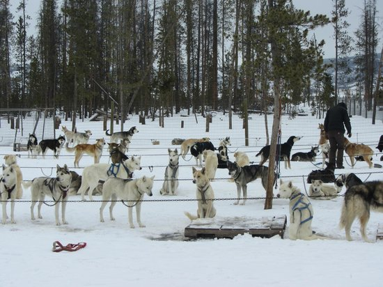 All the dogs wanted to run! - Picture of Dog Sled Rides of ...