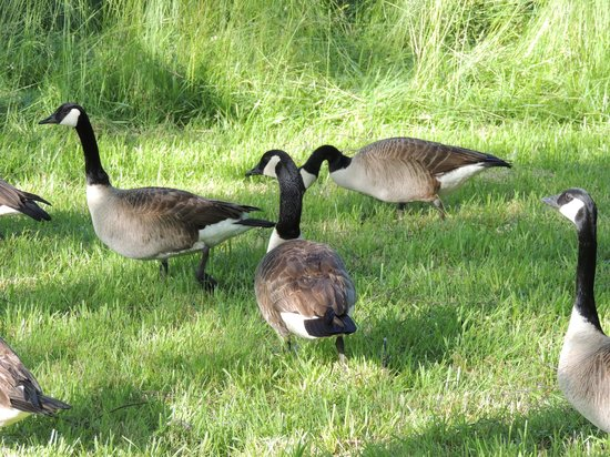 The Inn on Biltmore Estate: Canadian geese on the property