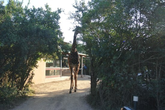 Kariega Game Reserve - Ukhozi Lodge : the lodge has a frequent guest giraffe!