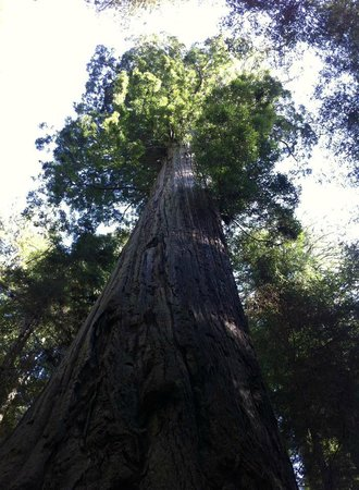 Redwood National Park, CA: Giant Redwood at Elk Prairie
