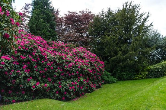 Bedknobs Bed and Breakfast: Fabulous Rhododendrons