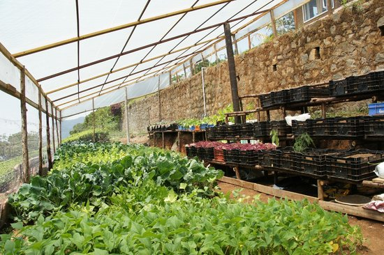 De Rock Jungle Living   Coonoor: Fresh Vegetables In The Greenhouse