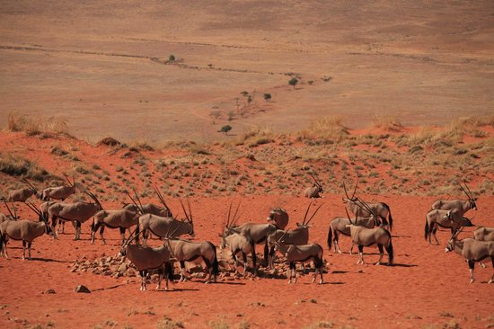 Wolwedans Dunes Lodge: Oryx activity at the waterhole infront of dining area