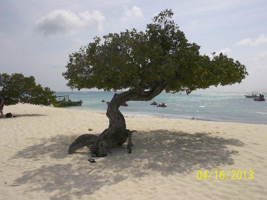 Hotel Riu Palace Aruba: playa y arbol tipico