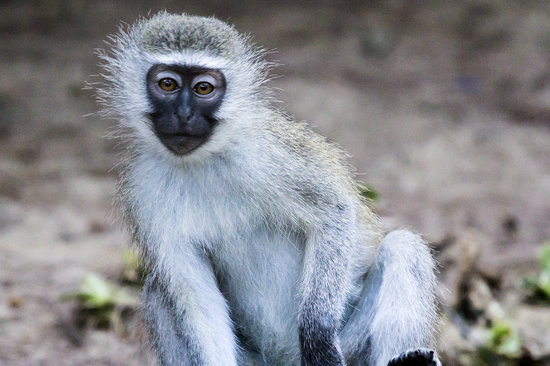 Cape Vidal Camp: samango monkey in camp