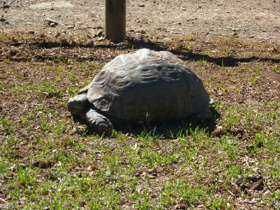African Game Lodge: Giant tortoise passing by